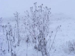 ciulini_iarna