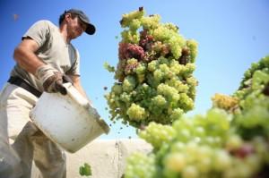 vin_productie