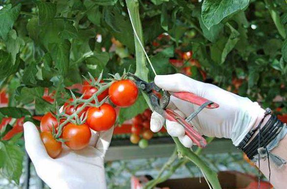 AndrŽ Hasco't, producteur de tomates ˆ ClŽder Cueillette de tomate cerise grappe