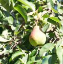ripe pear in foliage of tree in fruit orchard