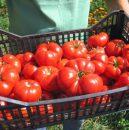 olt_tomate