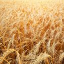 Background of wheat field with ripening golden ears closeup