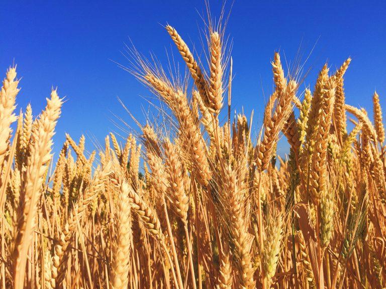 în tranzacționarea grâului)