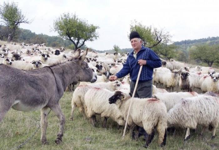 Fânul mai scump decât grâul – primul semnal de alarmă pentru crescătorii de oi