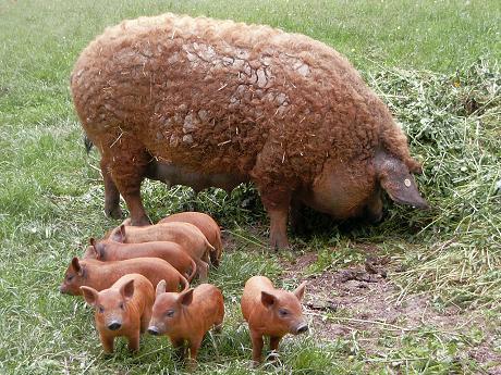 Mangaliţa, porcul somon, recucereşte Transilvania