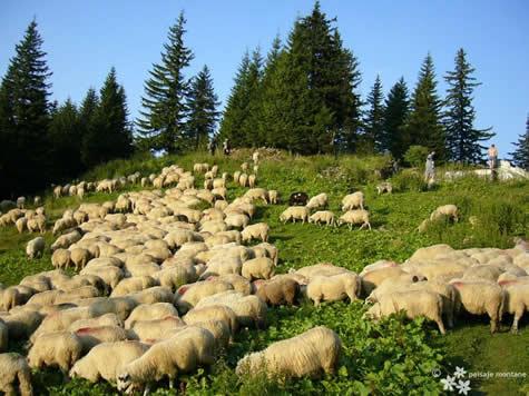 Reducerea efectivelor de oi modifică dramatic flora montană