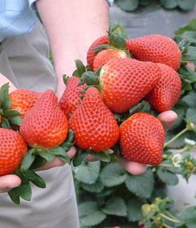 George Lazăr, horticultorul din Argeș care crede că salvarea fermierilor mici sunt căpșunile