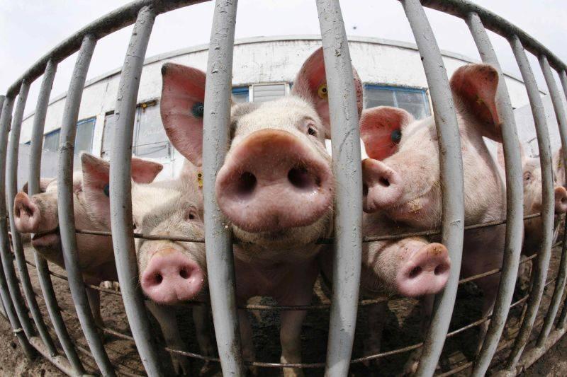 Cererile de plata pentru bunastarea porcilor se depun pana pe 30 august