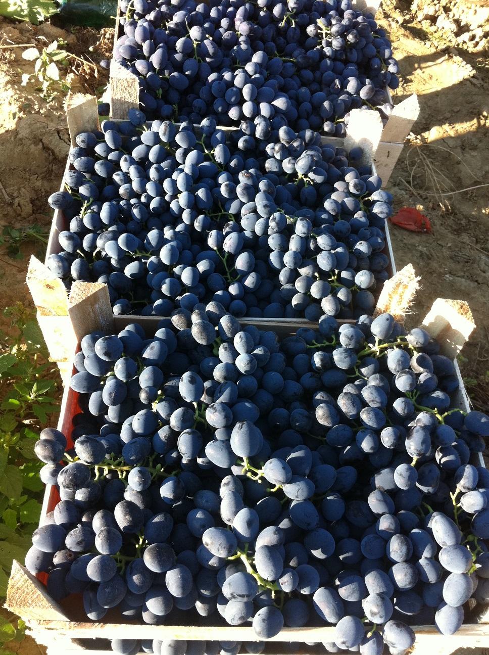 An prost pentru producatorii de vin din Dealu Mare