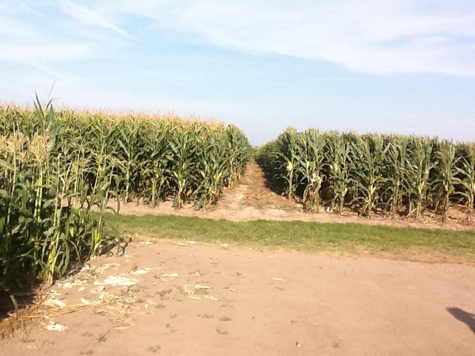 PRO AGRO susține cultivarea porumbului MG 1507