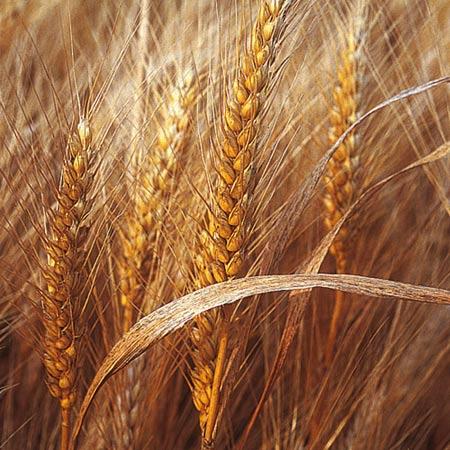 Prima tranzactie cu cereale din 2014: Egiptul reia achizitiile de grau romanesc