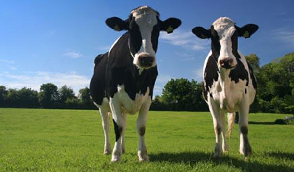 Strategie de afaceri – cum se puteau lua subvenții pe mii de vaci când tu ai doar două…