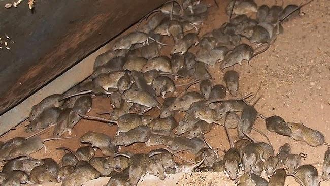 Invazie de şoareci în sudul ţării