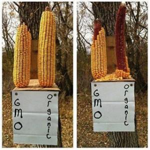 experiment-porumbul-modificat-genetic-este-toxic-veveritele-prefera-sa-manance-porumb-organic-vechi-decat-porumb-proaspat-omg-pericole-riscuri-pentru-sanatate-organisme-modificate-gen