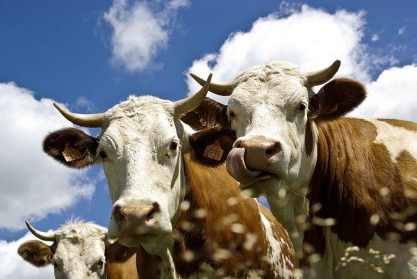 Zootehnia la pământ: Un kilogram de carne costă cât o bere