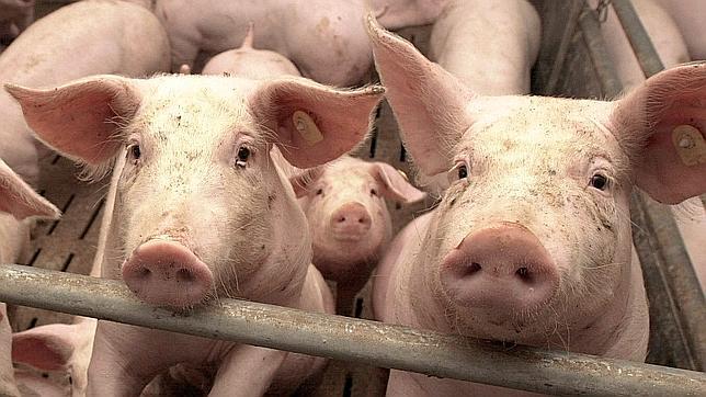 Liber la livrarile de porci vii pe piața UE, prima data dupa 2007
