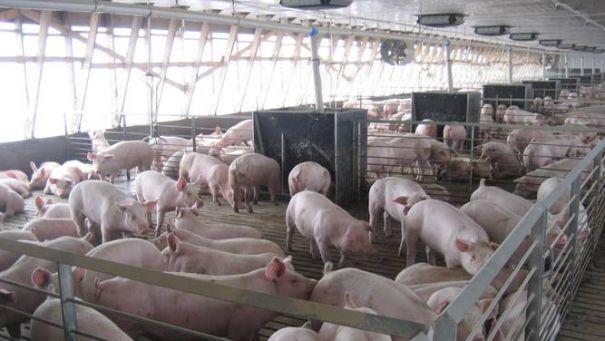 Ofertă mare de carne de porc în piață. Prețul, în cădere liberă