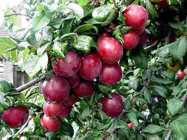Romania are 1,32 mil. pomi altoiti si doar 330.000 certificati pentru comercializare