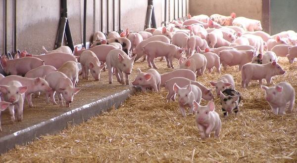 Optimism pe piata europeana a carnii de porc. Pretul, in crestere
