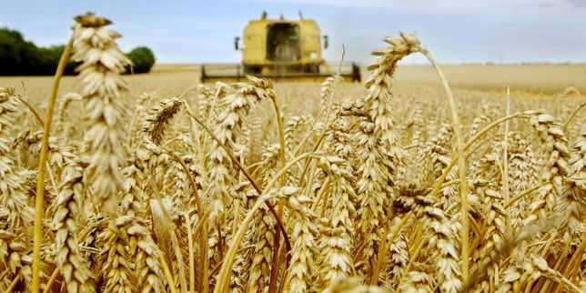 Credit Agricole: Preturile la cereale, in scadere de 4 ani. Calitatea graului este inferioara