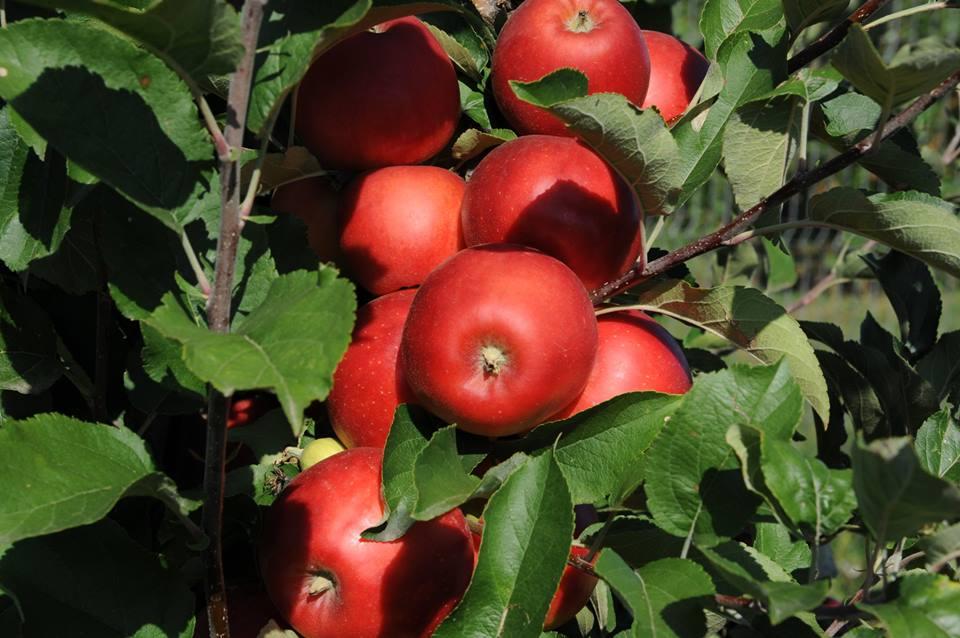 Adio livezi ecologice! Institutul de la Maracineni nu mai vrea plantatii superintensive