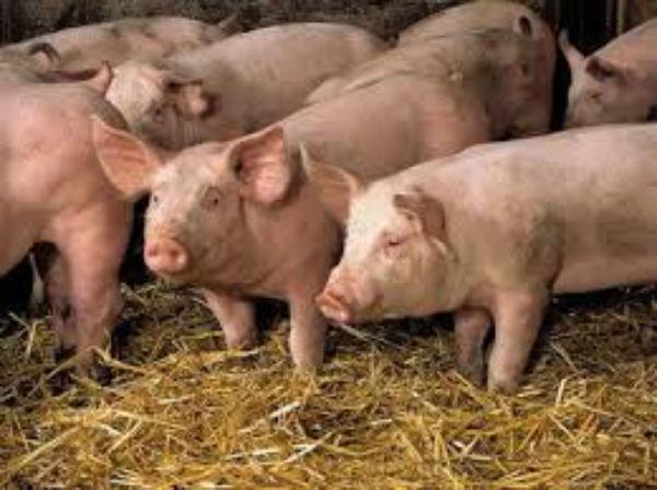 MADR: 85% din costul de productie al carnii de porc reprezinta purcelul si furajele….  Si crescatorul cu ce mai ramane?