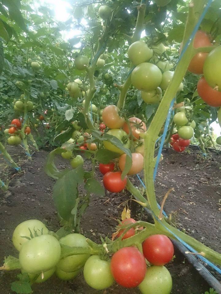 Tudor Dorobantu, sindicate: Programul de 3000 euro pentru rosii este o misiune sinucigasa pentru legumicultorii cu solarii