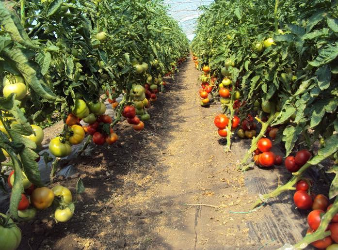 5.349 de cereri pentru programul de sprijin pentru tomate