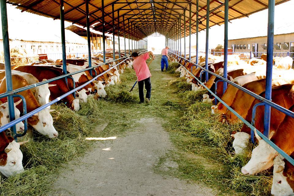 Fermier Arad: Pentru ca nu gaseam muncitori, am cumparat un robot de muls. Il folosesc la 70 de vaci si inlocuieste 4 muncitori