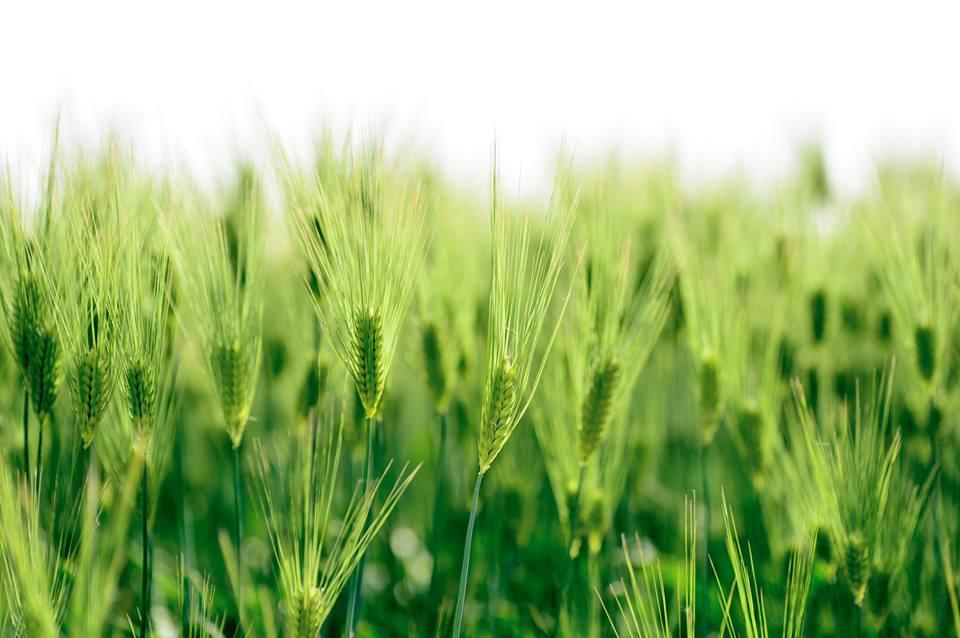 INS: S-au redus suprafetele cu cereale si legume in 2016. Cele cu rapita au crescut, in schimb
