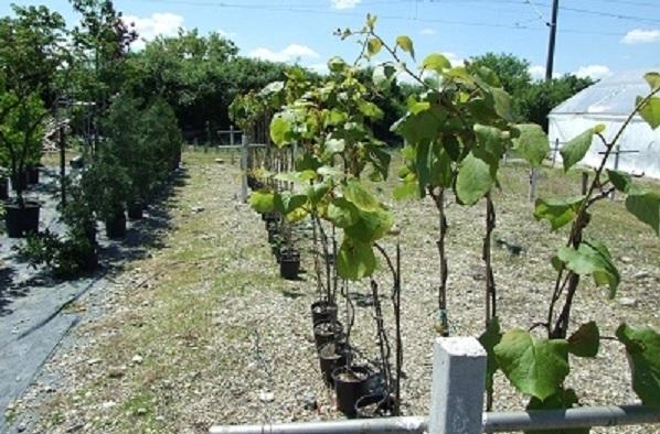 Kiwi de Banat pentru plantatiile exotice din Romania