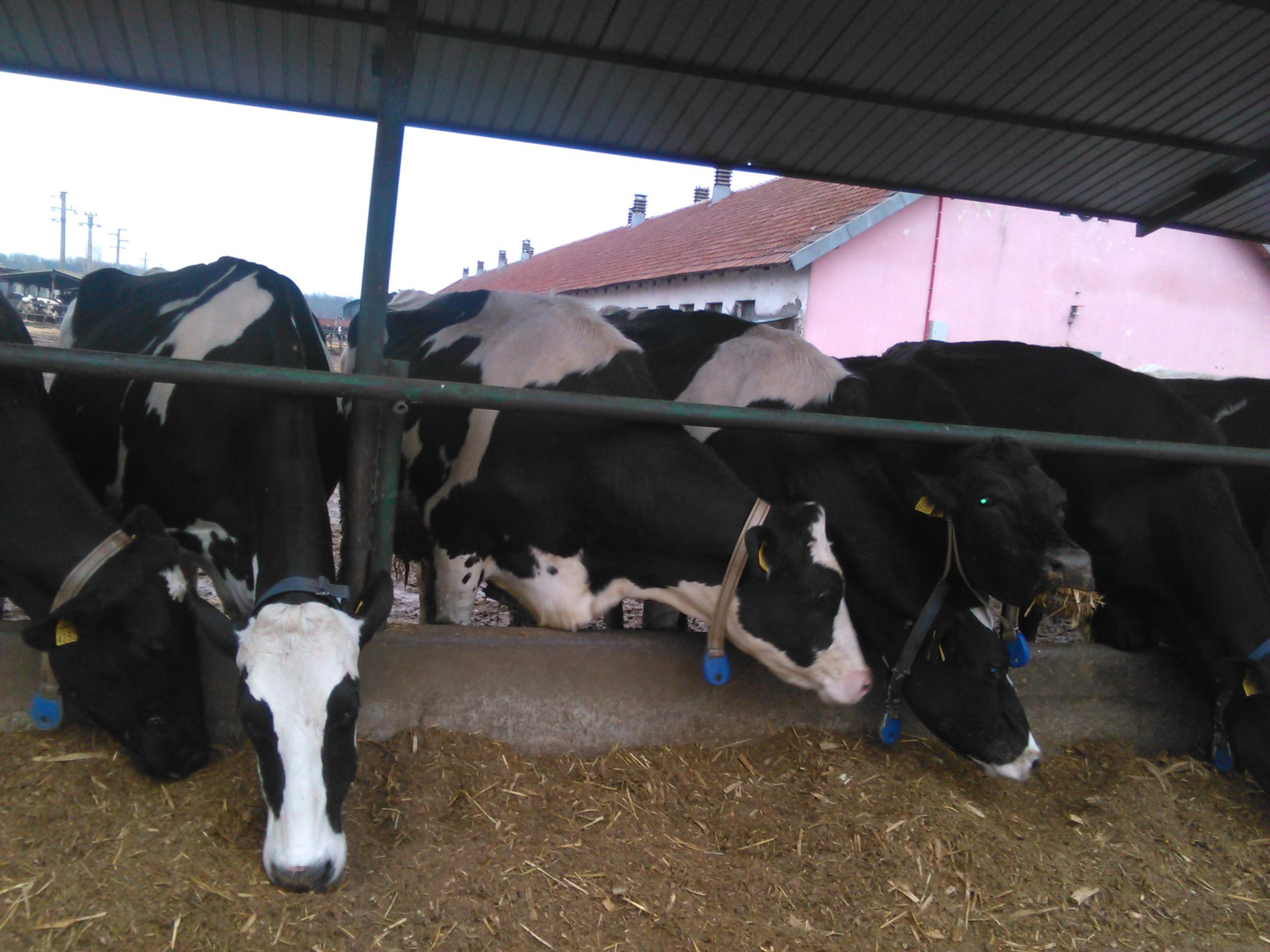 Ajutoare exceptionale pentru crescatorii de vaci care au intre 3 si 9 animale