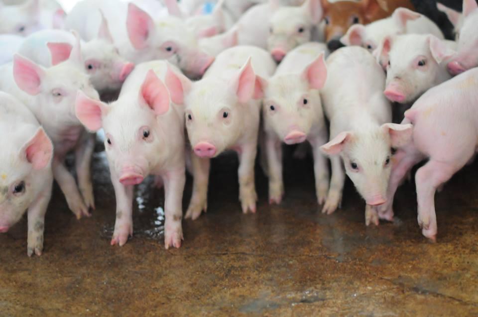 Romania, tara libera de pesta porcina clasica