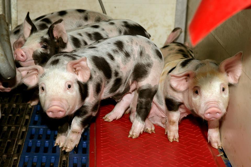 Ajutoarele pentru crescatorii de porci, aprobate de Camera Deputatilor. Sa vedem si cand vor intra banii