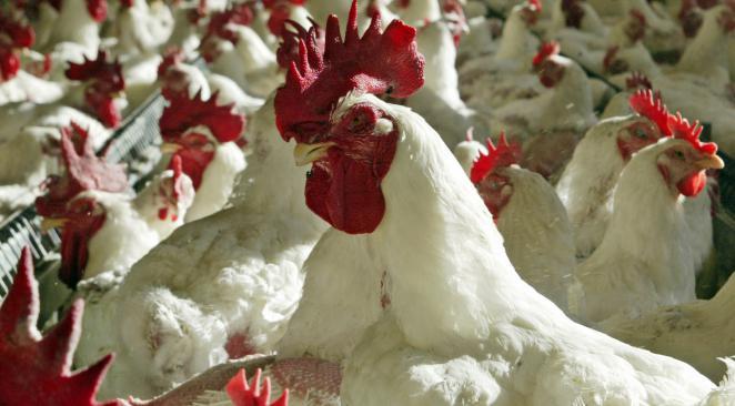 UCPR: In Romania, nu se folosesc antibiotice in hranirea pasarilor