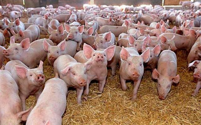 Crescatorii de porci spun ca mai au bani de primit de la APIA. Agentia:  Toate platile au fost facute