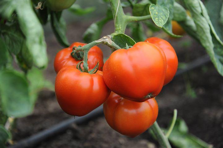 6 mil. euro pentru 2003 legumicultori inclusi in programul ''Tomate romanesti''. Olt, Giurgiu si Buzau, in frunte
