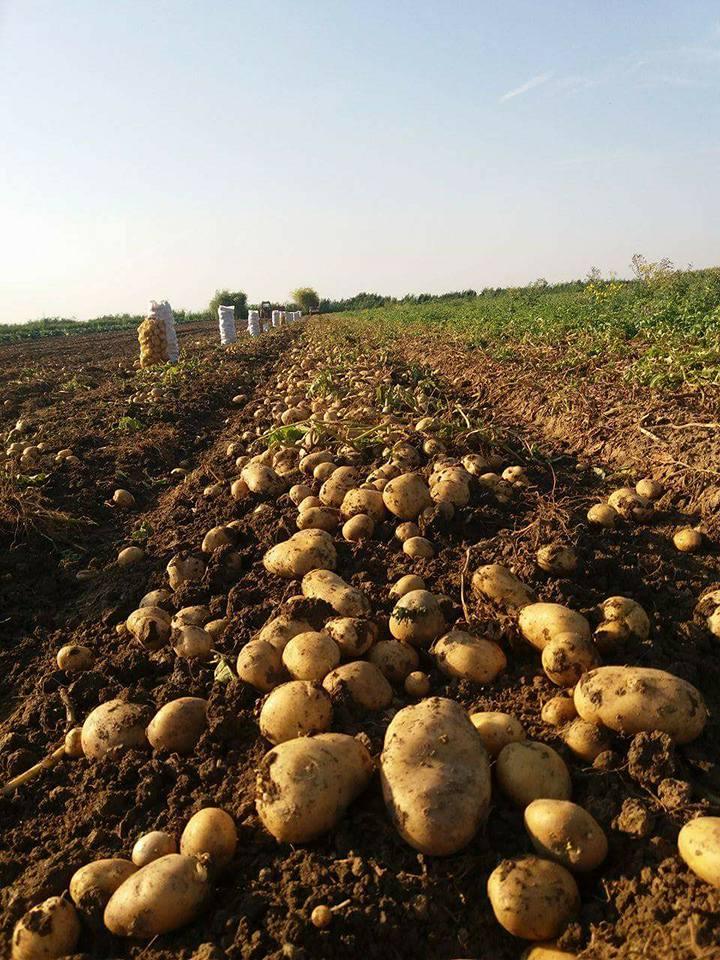 Producator de cartofi: Niciodata n-am patit asa ceva. Nu dau cartofii nici cu 30 bani/kg