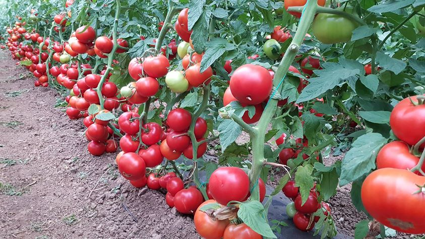 Italia si Spania, cei mai mari producatori de tomate din UE. Romania nici nu conteaza …