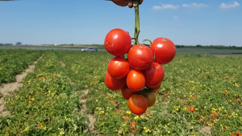 4.510 legumicultori si-au primit banii pentru tomate