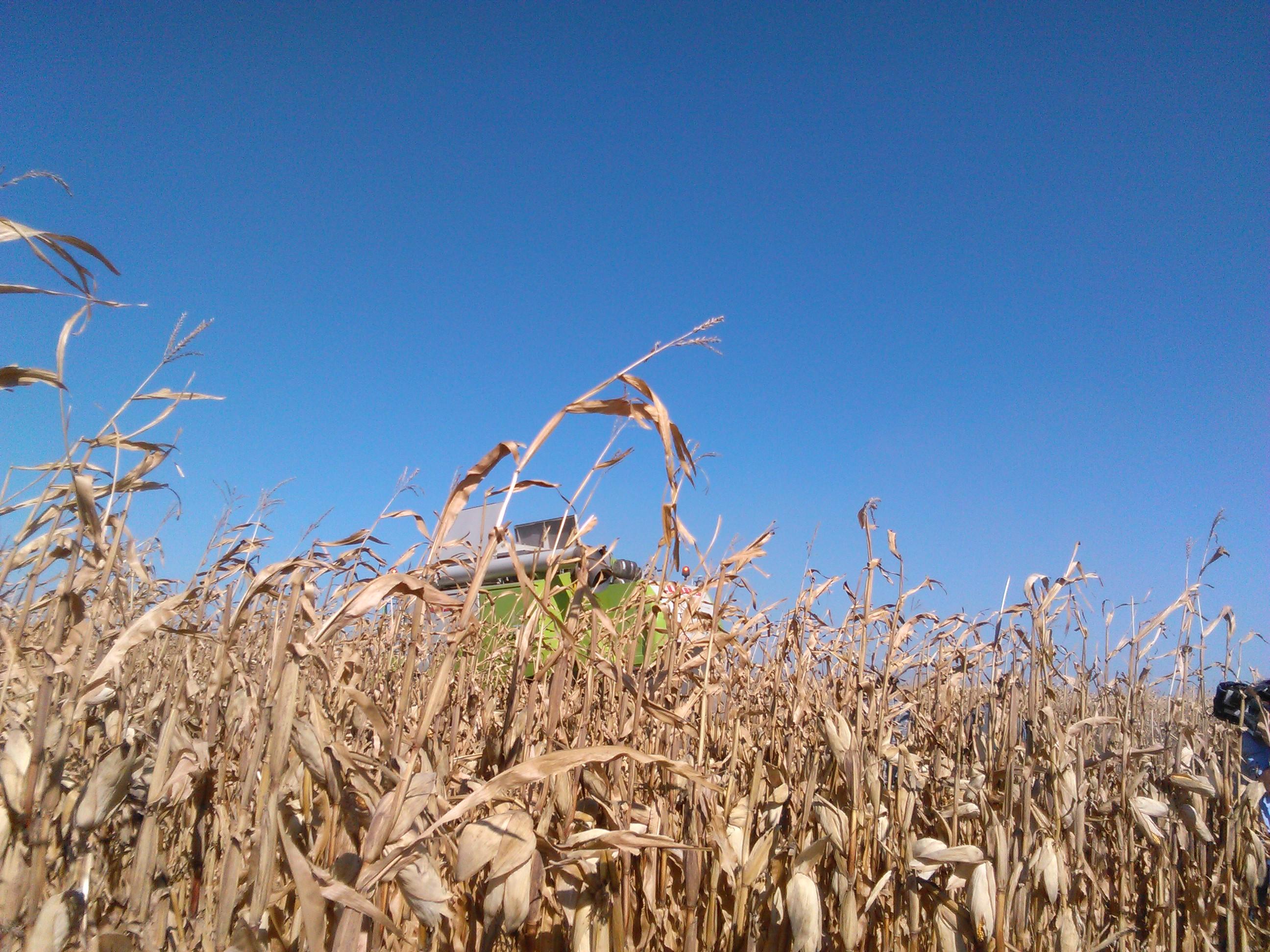 Productia buna din Romania ridica randamentele la porumb si floarea soarelui in UE