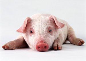 pesta porcul