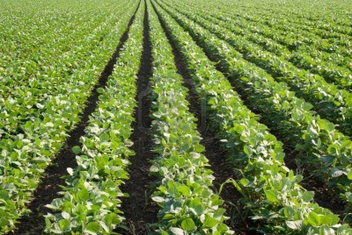 Ajutor pentru cultivatorii de soia din Vestul tarii