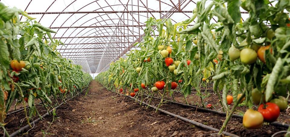 Termen devansat cu o saptamana pentru producatorii de tomate