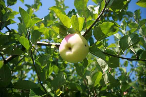 Productie mica de fructe in Bazinul Pomicol Voinesti, in acest an. La mere, scaderea este de 30%