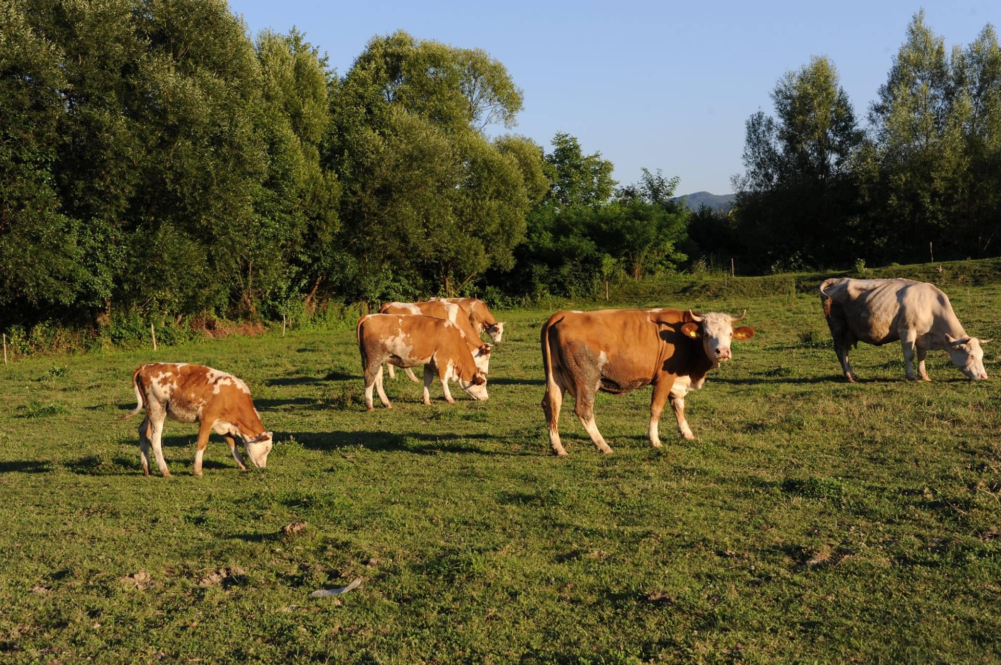 Productia de lapte de vaca colectata, mai mica in noiembrie 2017