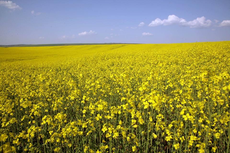 ANALIZA: Porumbul si floarea soarelui, preturi mai mari decat la recoltare