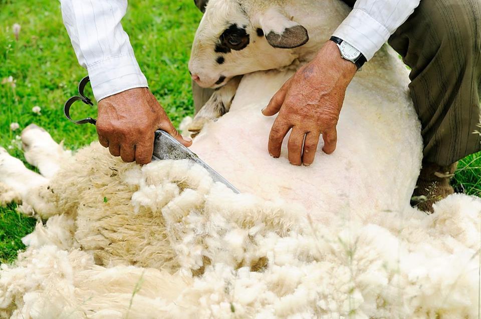 Colector de lana autorizat, in judetul Suceava