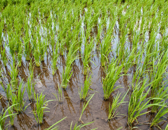 Romania mai are doar 8.360 ha cultivate cu orez