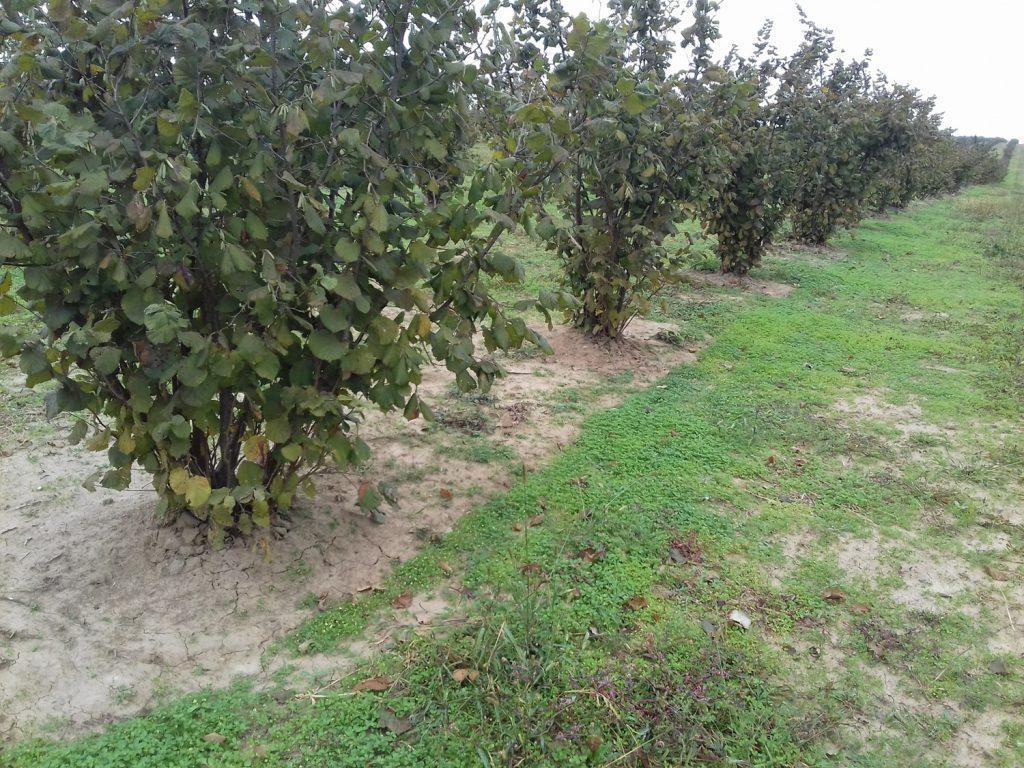 O plantație de aluni din Timis produce materie primă pentru Ferrero Rocher si Raffaello